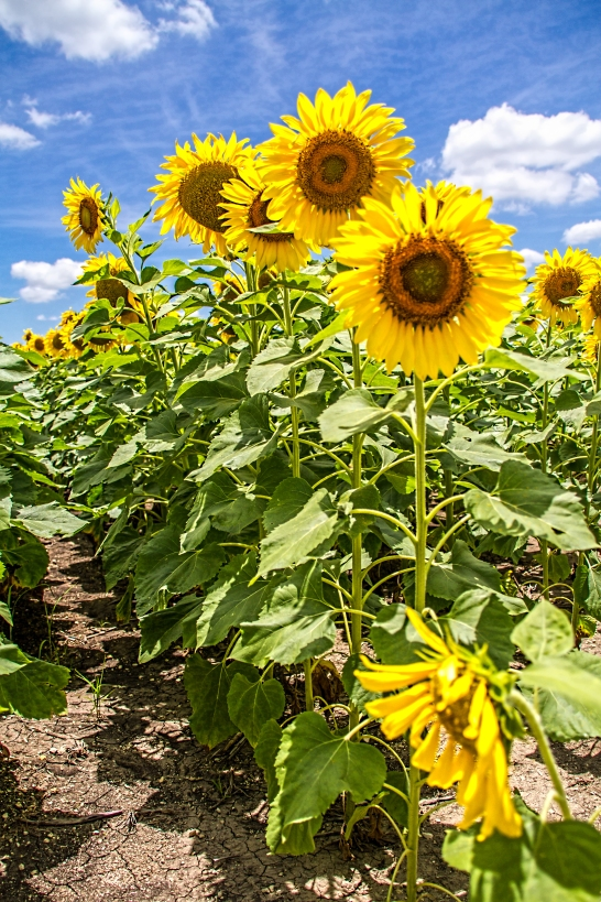 DSR_20130611sunflowers325-Edit